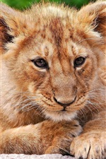 Preview iPhone wallpaper Lion cub rest, look