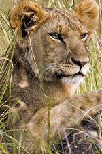 Preview iPhone wallpaper Lion in the grass, hunting