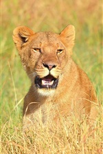 Preview iPhone wallpaper Lioness open mouth