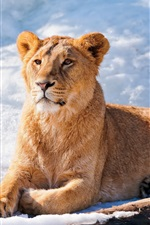 Preview iPhone wallpaper Lioness rest, snow, winter