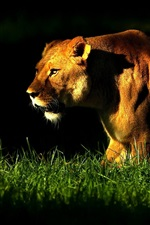 Preview iPhone wallpaper Lioness walk in the grass, night, lights