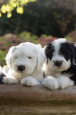 Preview iPhone wallpaper Lovely sheepdogs