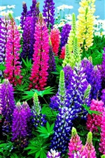 Preview iPhone wallpaper Lupines flowers, colorful colors