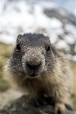 Preview iPhone wallpaper Marmot face close-up