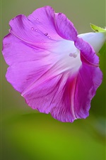 Preview iPhone wallpaper Morning glory, purple flower