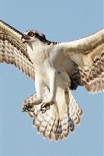 Osprey flight, wings, sky
