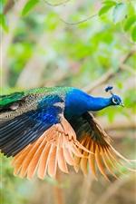 Peacock flight