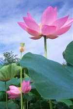 Preview iPhone wallpaper Pink lotus, flowers, foliage