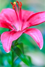 Preview iPhone wallpaper Pink red lily flowers