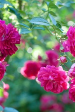 Preview iPhone wallpaper Pink rose flowers, garden, bokeh