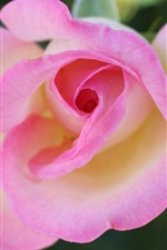 Preview iPhone wallpaper Pink rose macro photography, flowers