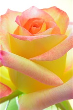 Preview iPhone wallpaper Pink rose macro photography, petals, bokeh