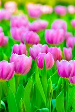 Preview iPhone wallpaper Pink tulips field, green leaves