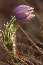 Preview iPhone wallpaper Purple flower, grass, spring