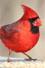 Preview iPhone wallpaper Red feather bird close-up, eating food