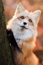 Preview iPhone wallpaper Red fox want to climb tree
