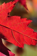 Preview iPhone wallpaper Red maple leaf, sunlight, autumn