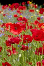 Preview iPhone wallpaper Red poppies flowers, bokeh
