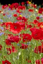 미리보기 iPhone 배경 화면 빨간 양귀비 꽃, bokeh