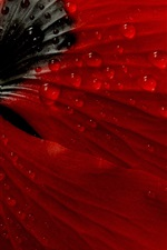 Preview iPhone wallpaper Red poppy flower back view, dew