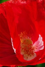 Red poppy flower close-up