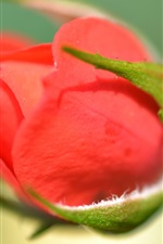 Preview iPhone wallpaper Red rose flower bud macro photography