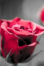 Preview iPhone wallpaper Red roses, blurry background