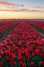 Preview iPhone wallpaper Red tulips, flowers field, dusk