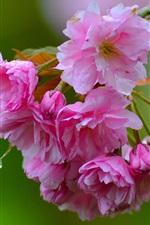 미리보기 iPhone 배경 화면 사쿠라 근접, 핑크 꽃, 나뭇 가지