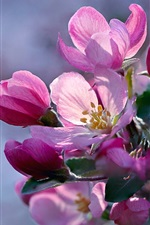 Preview iPhone wallpaper Spring, pink apple flowers bloom