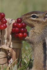 Preview iPhone wallpaper Squirrel and red berries
