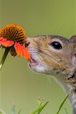 Squirrel, curiosity, flower