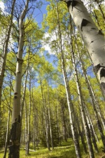 Preview iPhone wallpaper Summer, birch forest