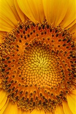 Preview iPhone wallpaper Sunflower macro photography, yellow petals, pistil