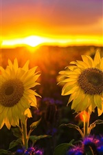 Preview iPhone wallpaper Sunflowers at sunset, glare