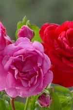 iPhone обои Три цвета роз, светло-розовый, розовый и красный