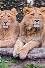Preview iPhone wallpaper Three lions, family, rest