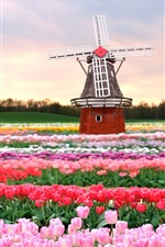 Preview iPhone wallpaper Tulips field, windmill, Holland