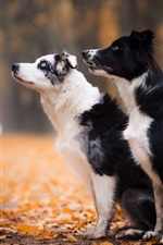 Preview iPhone wallpaper Two dogs, sit down, foliage, autumn