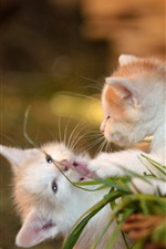 Two kittens playful, bokeh