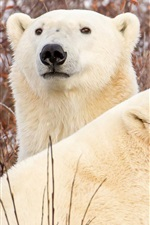 Preview iPhone wallpaper Two polar bears rest