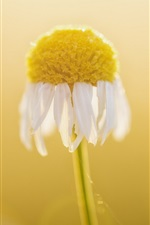 Preview iPhone wallpaper White daisy flower macro photography, bokeh