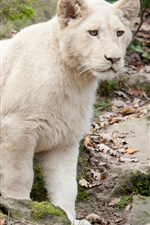 Preview iPhone wallpaper White lion cub