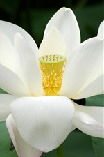 Preview iPhone wallpaper White lotus, petals, green leaves