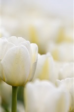 Preview iPhone wallpaper White tulips flowers close-up