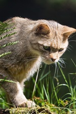 Preview iPhone wallpaper Wild cat, hunter, grass
