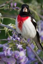 Wisteria flowers, bird
