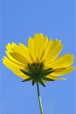 iPhone fondos de pantalla Amarillo kosmeya flor, cielo azul