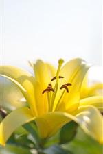 미리보기 iPhone 배경 화면 노란색 백합 꽃 확대