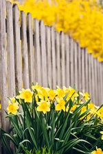 Preview iPhone wallpaper Yellow narcissus, fence